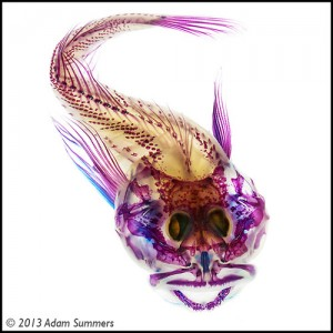 Skeleton of a small fish, stained