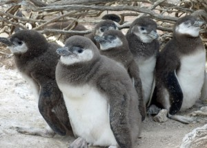 Six penguin chicks stand under shrub