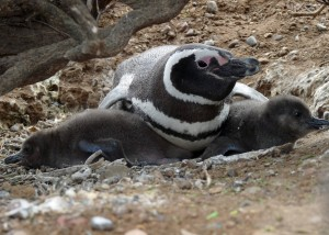 Adlt penguin lies on ground with flipper over each of two chicks