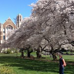 Cherry trees on the Quad are now in full bloom.