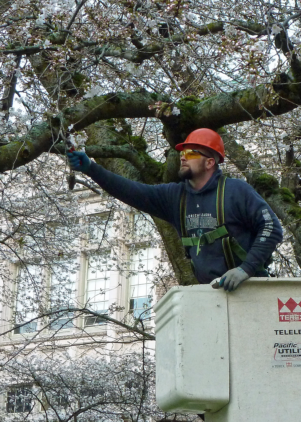 Man in lift bucket uses hand pruners to snip twigs off tree