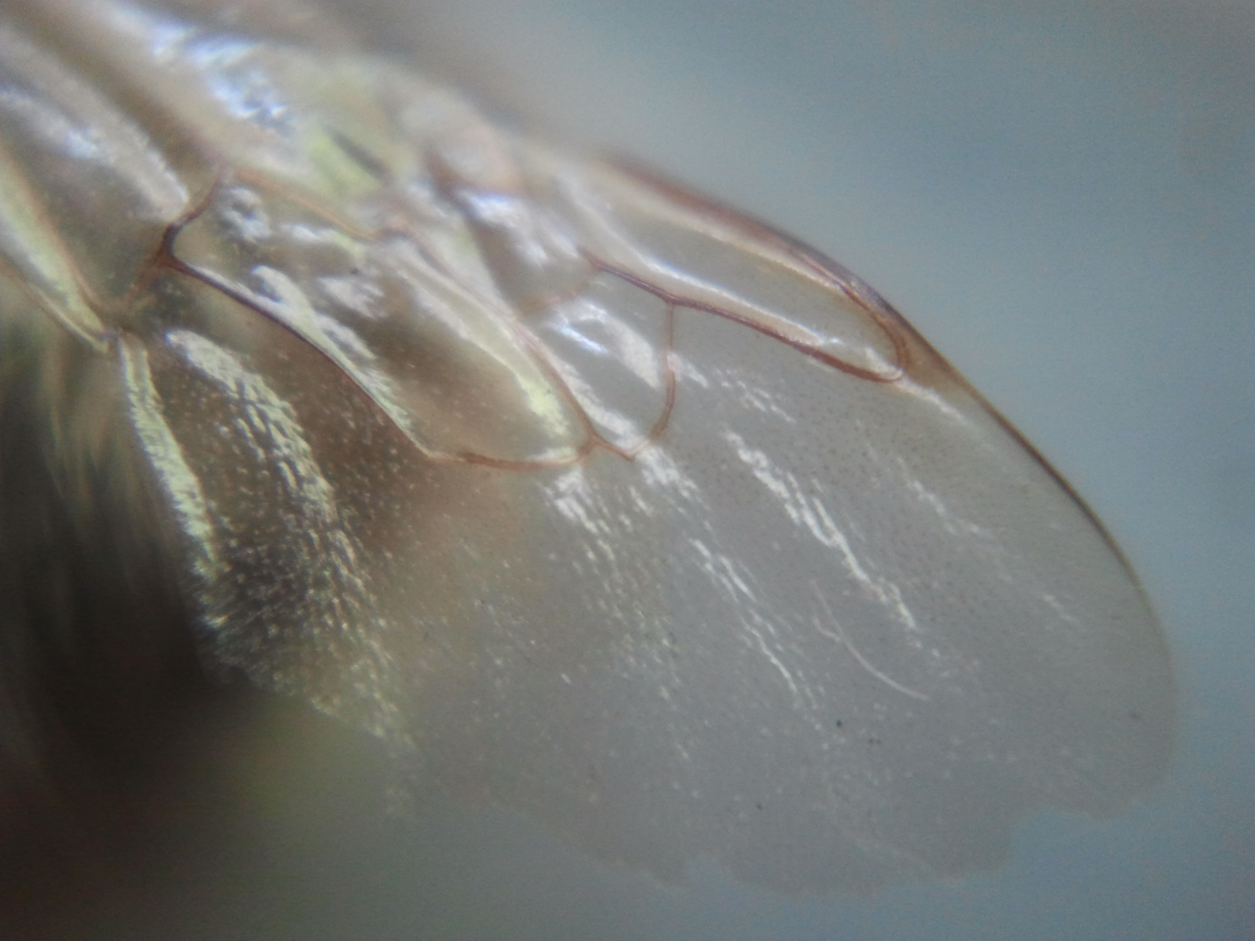 A fly wing magnified 15 times.