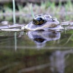 Frogs head shows above surface of the water