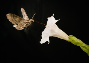 Moth hovers over flower