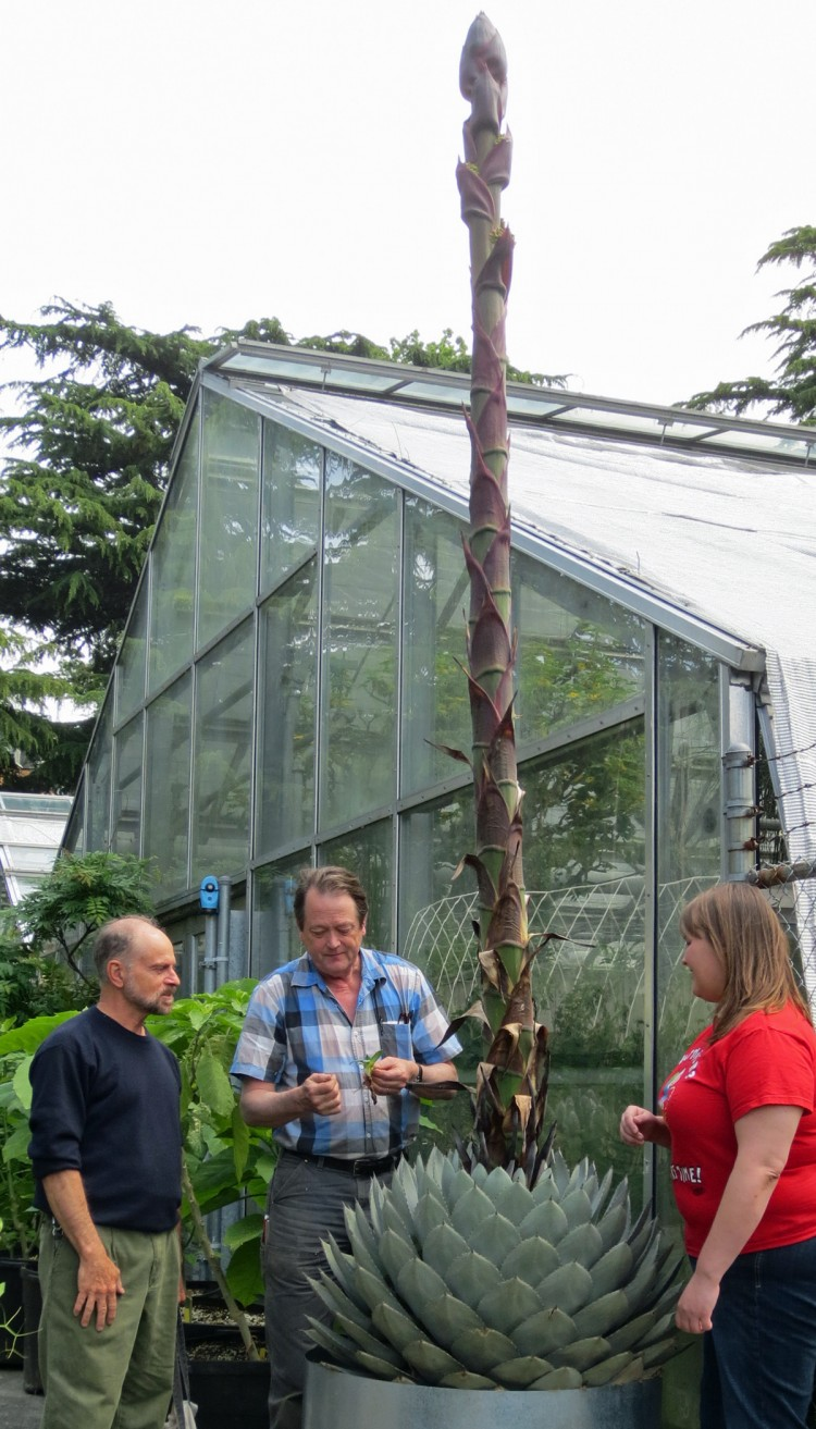 It S Not Giant Asparagus Nine Foot Agave Showing Off At Botany Greenhouse Uw News