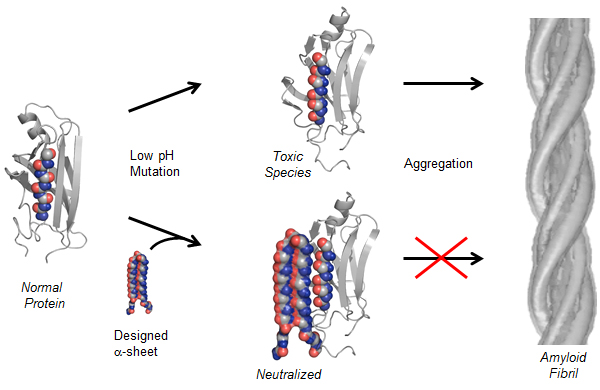 A flow diagram showing how the protein structure works.