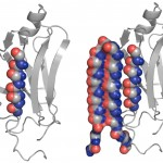 An abnormal protein, left, is intercepted by the UW's compound that can bind to the toxic protein and neutralize it, as shown at right.