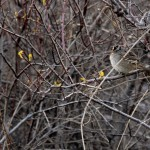 Sparrow perches among tree branches