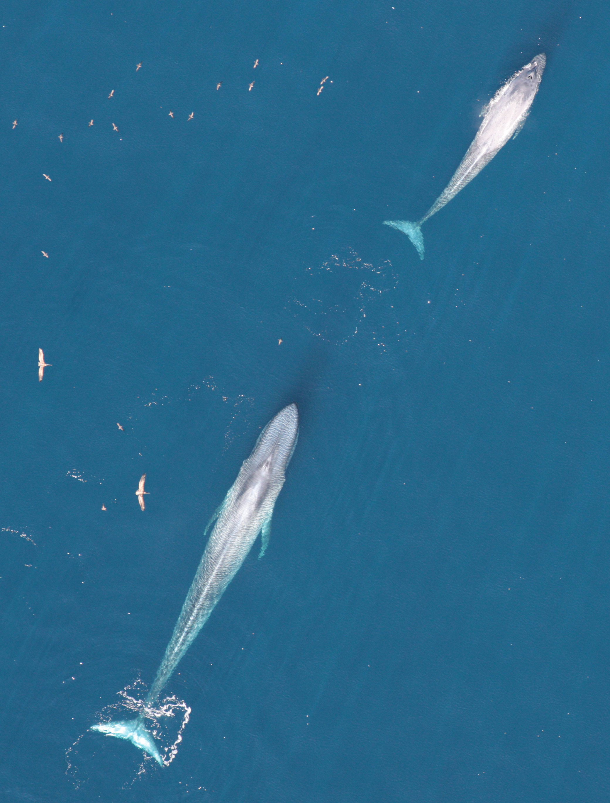 From overhead two blue whales swim inocean