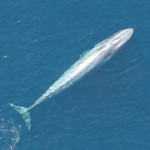 Overhead view of blue whale swimming in ocean