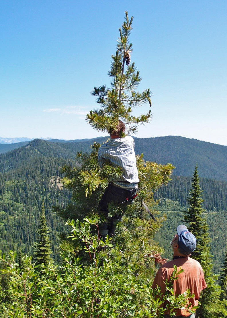 A man climbs, near the top of a tree where pine cone is growing