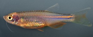 Researchers have determined it's a certain gene that keeps pigment cells dispersed and gives the pearl danio its uniform orange color. By expressing this gene the same way in zebrafish, the zebrafish pigment cells also remained intermingled and the fish were essentially stripped of their stripes.