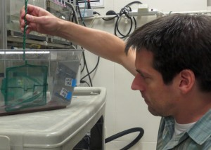 Man uses net in container with zebrafish