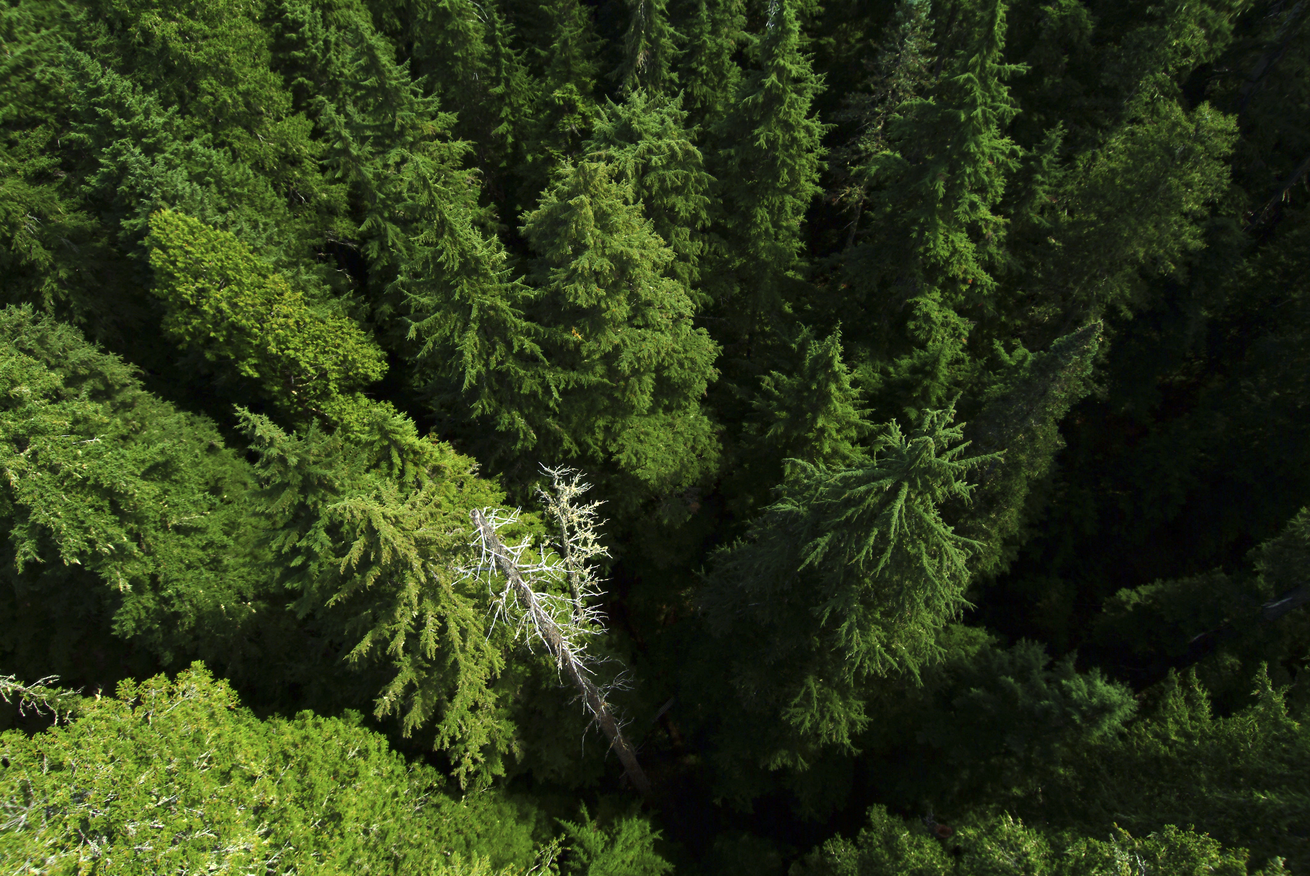 Looking down into treetops and dead snags