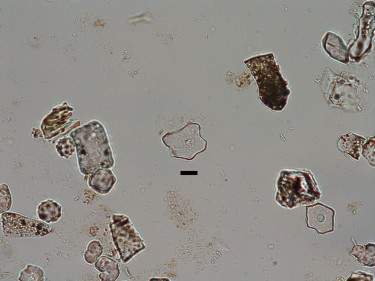 Fossil phytoliths indicative of open habitats.