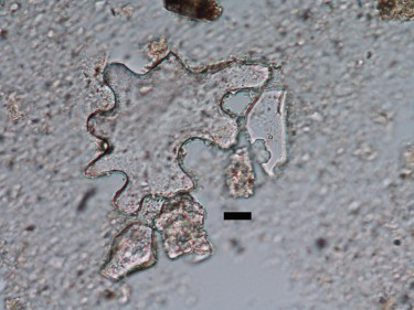 A 49 million-year-old phytolith. Its curvy and large shape indicate the plant it came from grew in shady conditions. Scale bar is 10 micrometers.