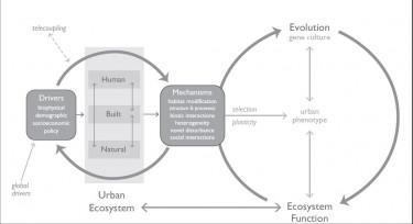 The work of Marina Alberti of the UW College of Built Environments shows that key urban drivers of change influence eco-evolutionary dynamics through interactions among the human, natural, and built system components of the urban ecosystem. This happens through a series of subtle mechanisms including changes in habitat, biotic interactions, novel disturbance and social dynamics.