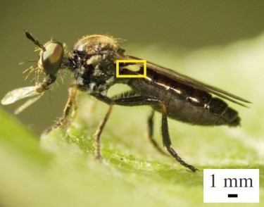 A robber fly with a very large haltere (inside yellow box). Halteres are sensors that act like gyroscopes, providing information about the insect's body rotations during flight.