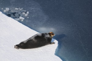 seal at ice edge