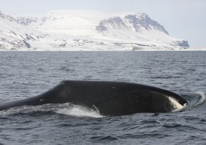 whale surfacing with glacier in background