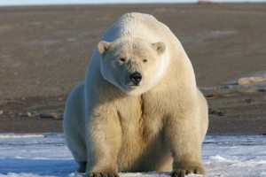 closeup of polar bear