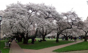 Cherry trees in the Quad, March 13.
