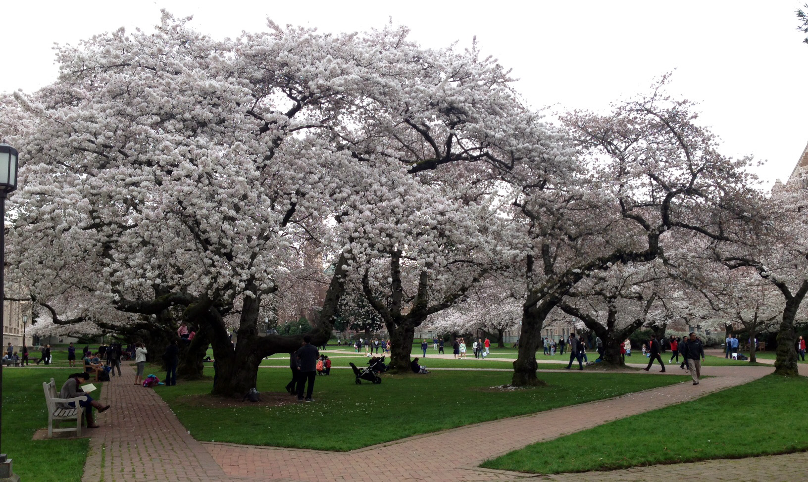 2015 Uw Cherry Tree Watch Full Bloom By March 14 Uw News