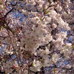 Cherry blossoms on March 12.