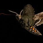 A hawk moth probes a flower with its proboscis.