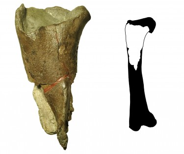 The first dinosaur fossil from Washington state (left) is a portion of a femur leg bone (full illustration right) from a theropod dinosaur.