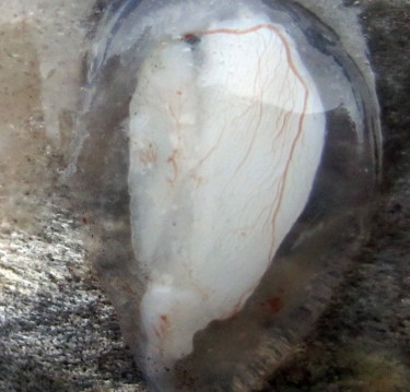 This otolith has been extracted from a fish. It is still within its fluid sac which is surrounded on the outside by blood vessels. Otoliths help fish with hearing and balance.