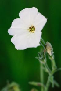 Image of the common garden petunia