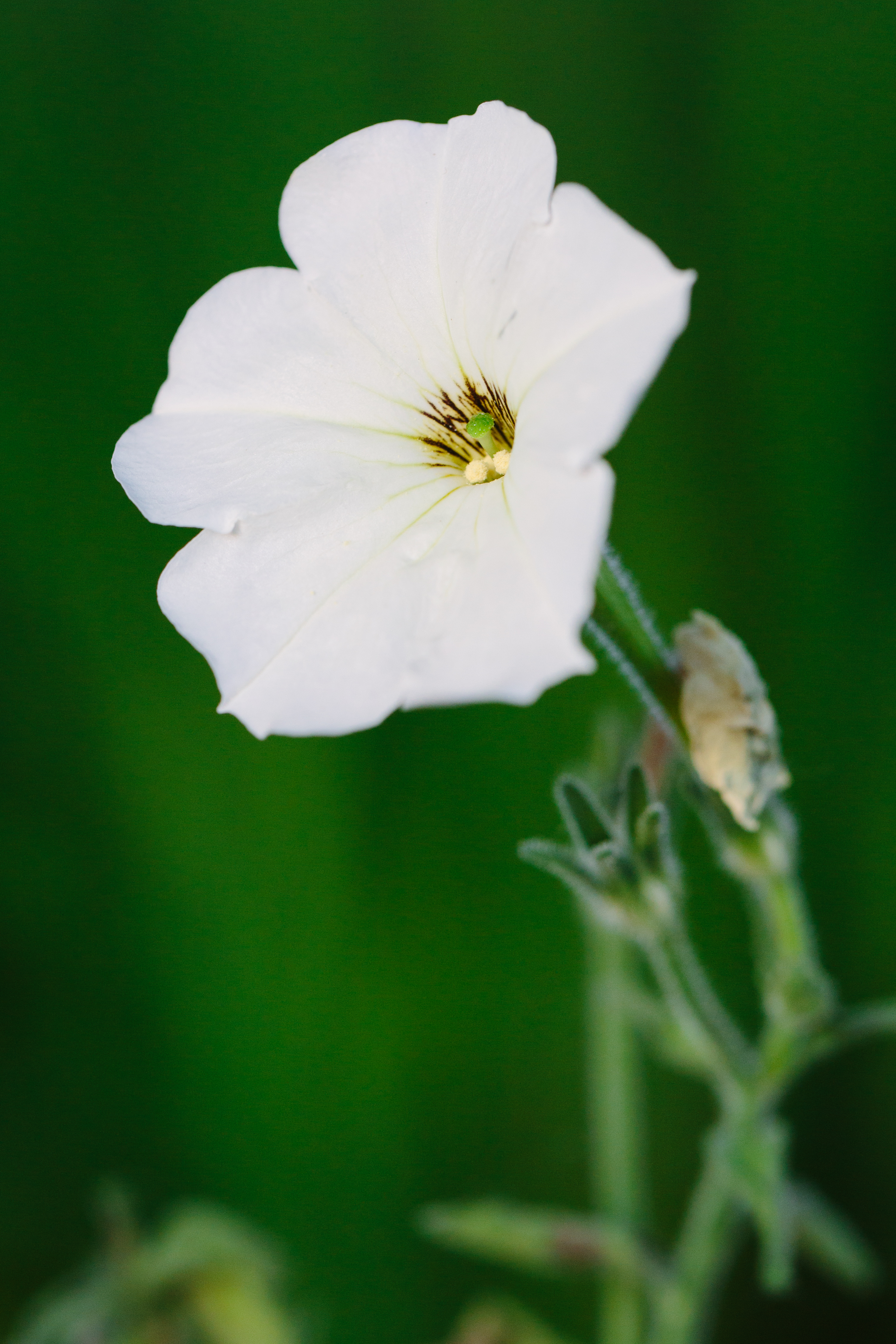 Researchers Discover How Petunias Know When To Smell Good Uw News