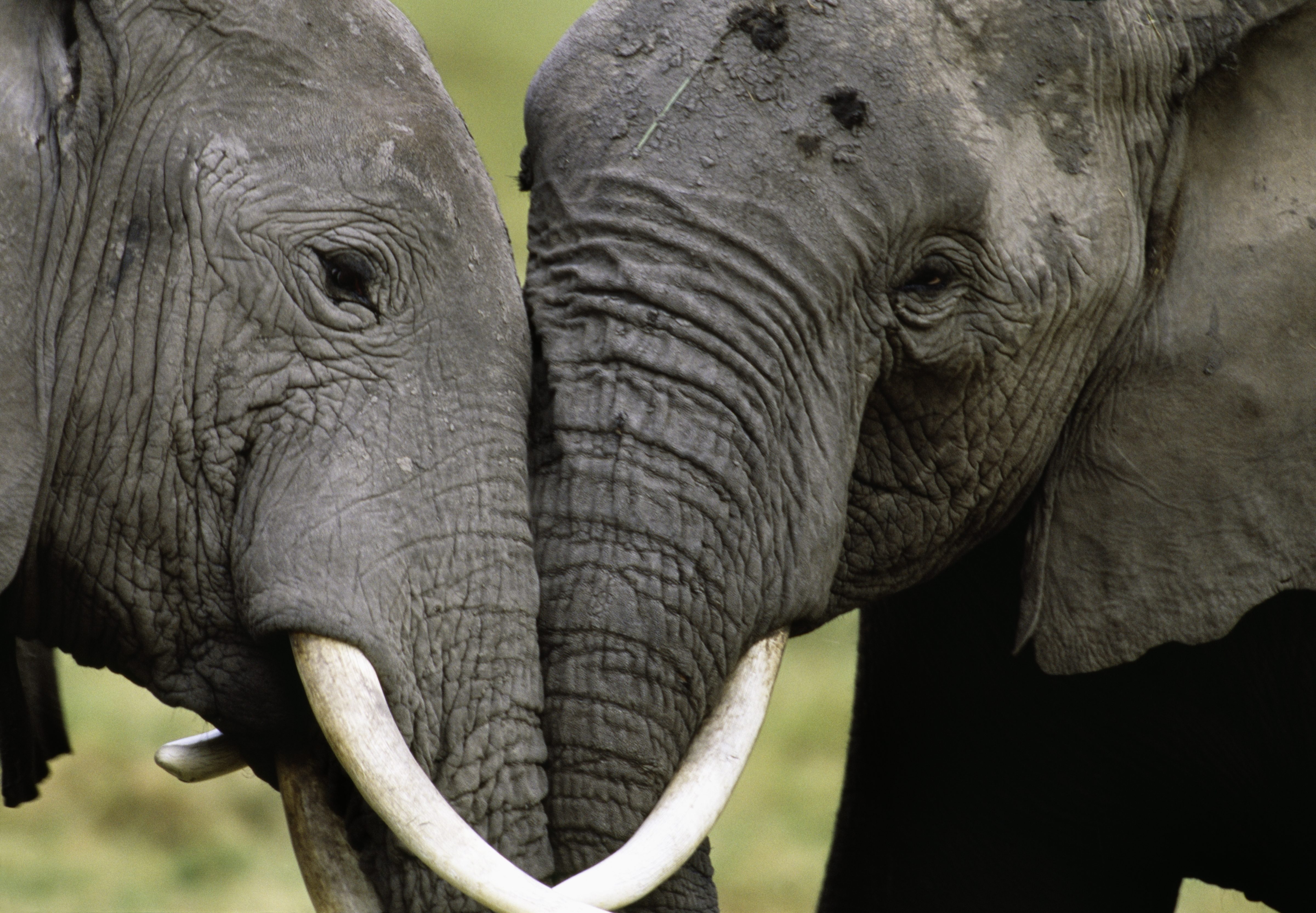 44a7c4f12f44 Evidence from ivory DNA identifies two main elephant poaching ...