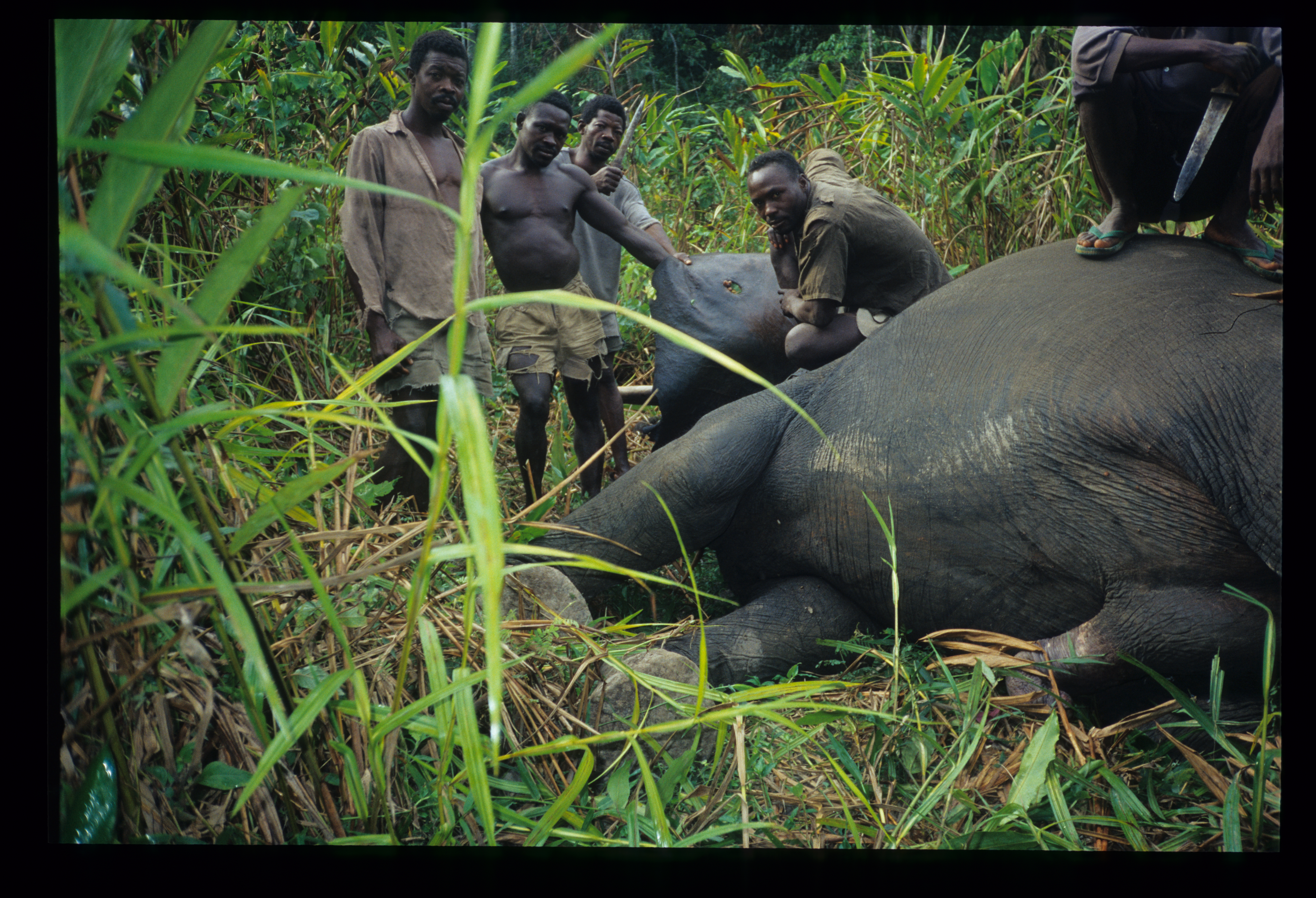 Evidence from ivory DNA identifies two main elephant
