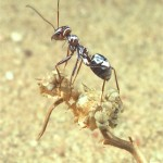 A Saharan silver ant offloading heat on top of dry vegetation.