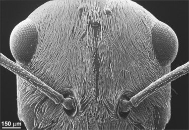 A scanning electron microsocope (SEM) view of the Saharan silver ant's head densely covered in hairs.
