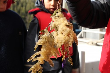 Harvesting herring roe, or eggs, on a cedar branch.