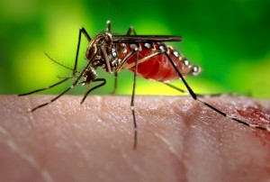 A mosquito feeding on a host.