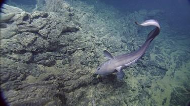 A 5-foot-long rattail fish.