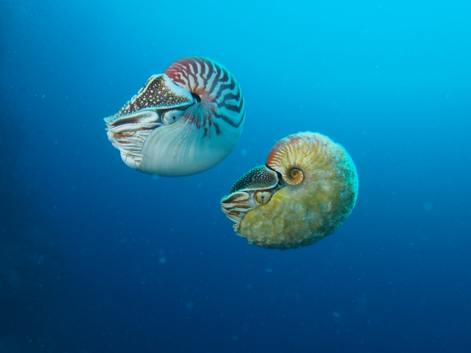 Nautilus and Allonautilus