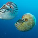 Nautilus pompilius swimming next to Allonautilus scrobiculatus off of Ndrova Island in Papua New Guinea.