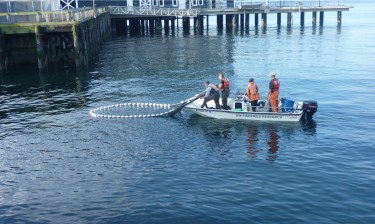 Researchers use a net to collect and count young salmon along an armored site in Elliott Bay near the Seattle Aquarium.