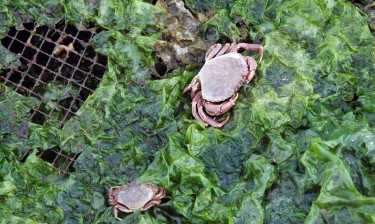 A small crab explores netting on a geoduck farm.