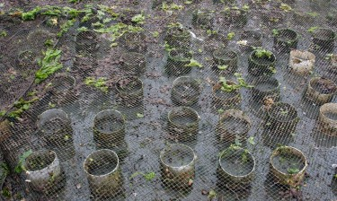 PVC pipes are covered with netting in a geoduck farm.