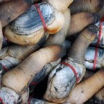 Geoduck clams after harvesting.