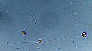 Chrysochromulina tobin