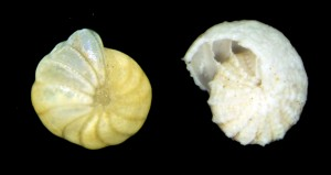 Elphidiella hannai, a species of foraminfera found in Bellingham Bay and Bremerton, in its healthy form (left) and partially dissolved (right).
