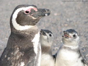 Adult Magellanic penguin and two chicks, begging for food.