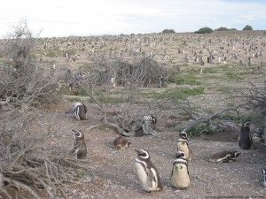 Magellanic penguins at Punta Tombo.
